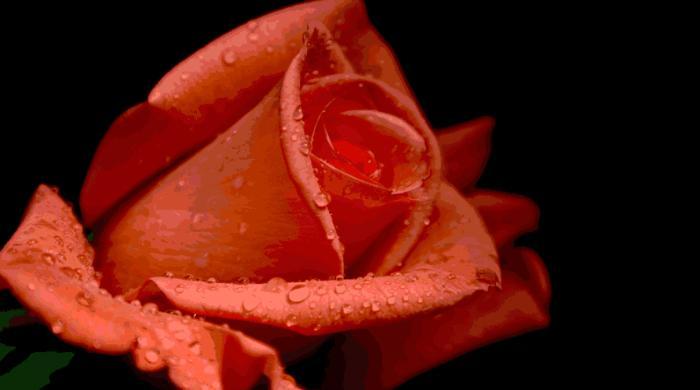 OSHO Mystic Rose